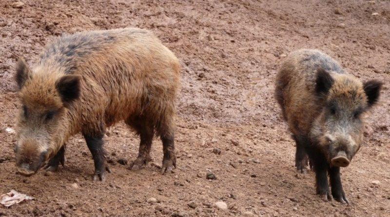 La sobrepoblación de jabalíes de Vitoria será controlada por cuatro arqueros,