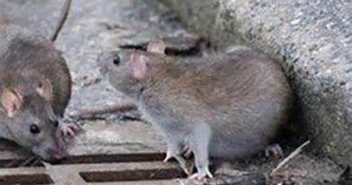 Las ratas, otro de los problemas de Salburua,