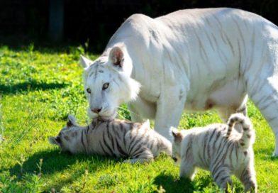 Las crías de tigre blanco de Sendaviva tienen una «madrina» gasteiztarra