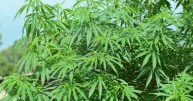 La Guardia Civil desmantela una plantación de marihuana en  Mungia,
