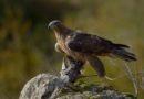 La Diputación Foral se personará como acusación particular para ejercer acciones penales y civiles en la investigación de un disparo a un águila Bonelli
