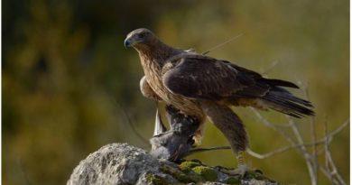 La Diputación Foral apuesta por corregir los tendidos eléctricos, principal amenaza del águila Bonelli,
